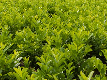 Prunus_lauro_Rotundifolia_kwekerij_plantloon_kaatsheuvel